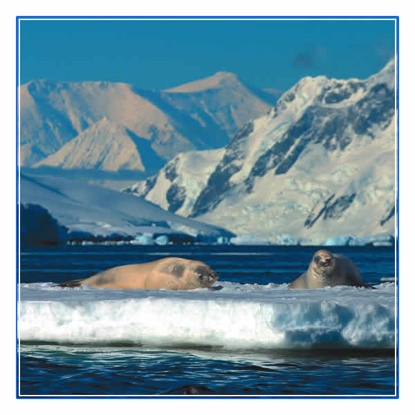 Crabeater Seals basking on an ice-float