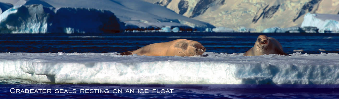 Crabeater seals resting on an ice float